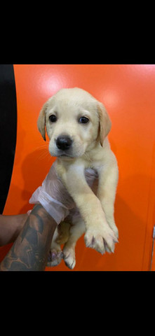 Labrador  - Foto 3