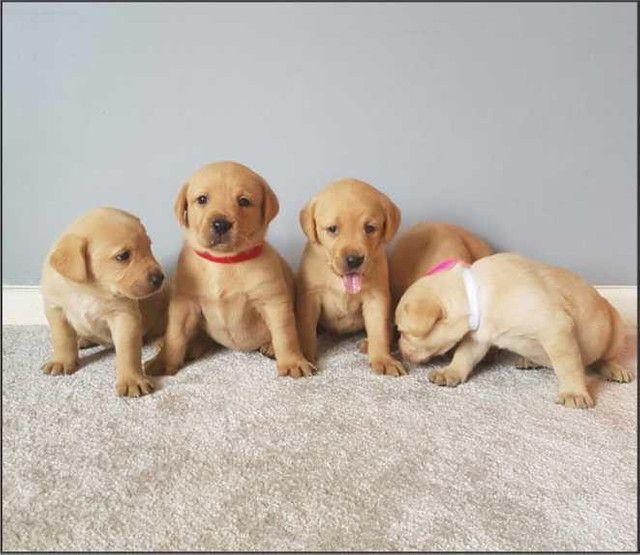 Labrador - Presente de Natal ! - Foto 2
