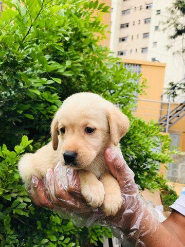 Filhotes de Labrador com Garantias em Contrato  - Foto 3