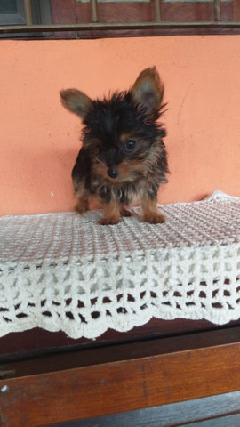 Yorkshire Terrier macho - Foto 2