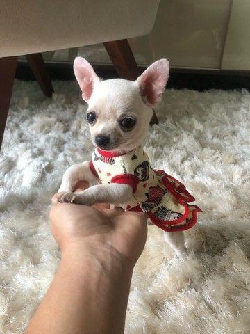 Chihuahua Femea  - Foto 4