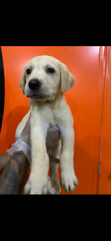 Labrador  - Foto 5
