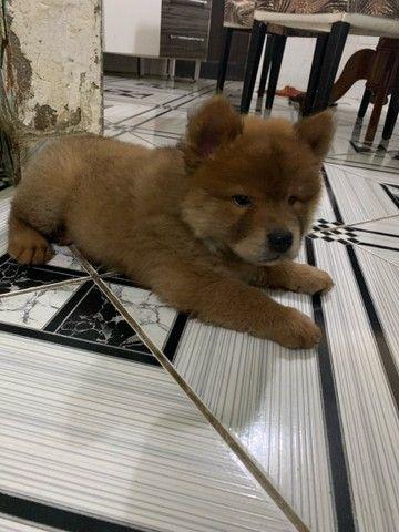 Filhote de Chow-Chow - Foto 2