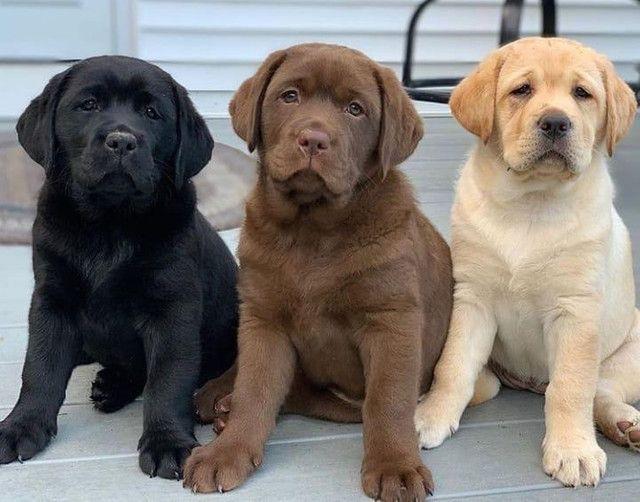 Labrador lindo e fofos