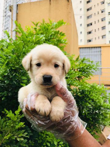 Filhotes de Labrador com Garantias em Contrato  - Foto 4