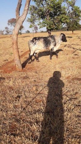 Vendo vaca girolanda - Foto 2