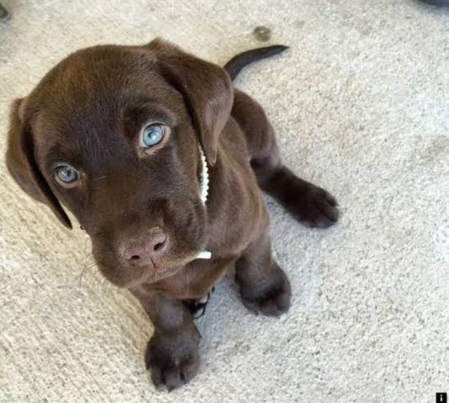 Promoção de Labrador