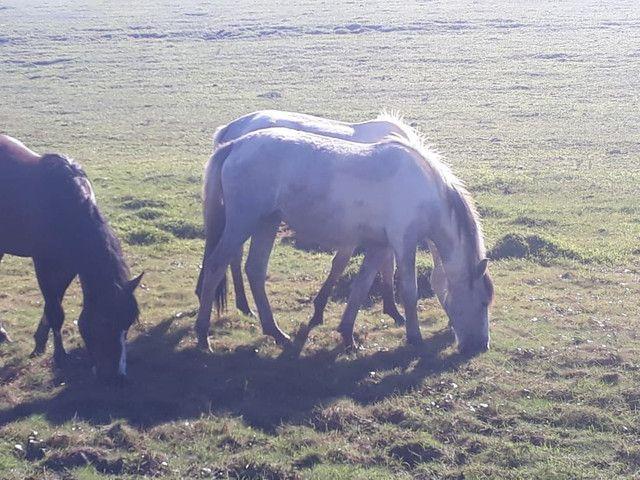 Vende-se uma égua domada e três potras  - Foto 4
