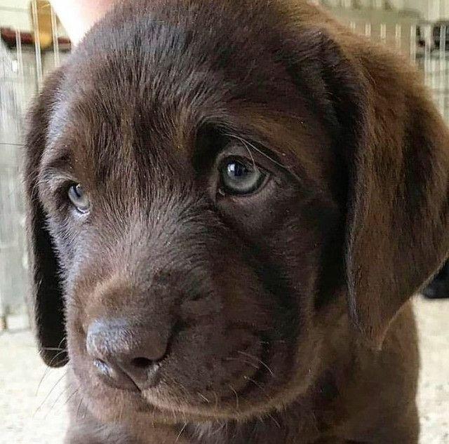 Labrador filhotinhos com pedigree e garantias de saúde! - Foto 4