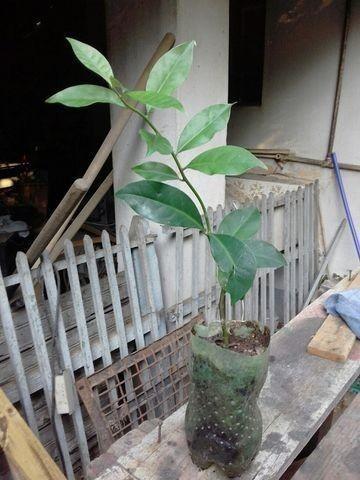 Muda de Ora Pronobis,planta medicinal