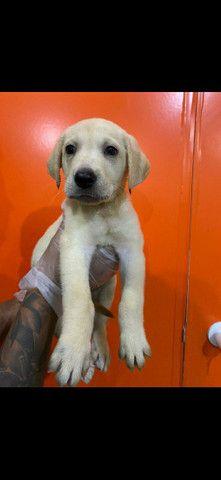 Labrador  - Foto 6