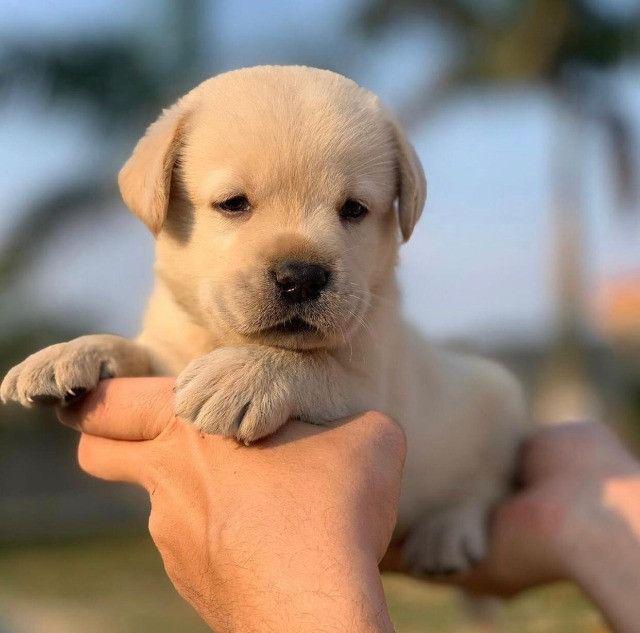 Labrador filhotes maravilhos, adquira de uma rede com 11 clínicas 24hrs e 6 lojas!