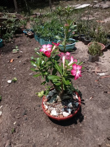 Rosas do deserto ? - Foto 6