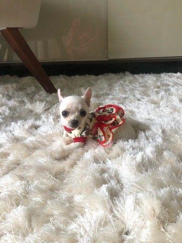 Chihuahua Femea  - Foto 5