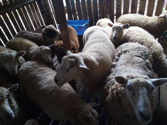 Ovelha borrego carneiro capão