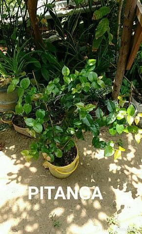 Vendo plantas ornamentais e medicinais - Foto 2