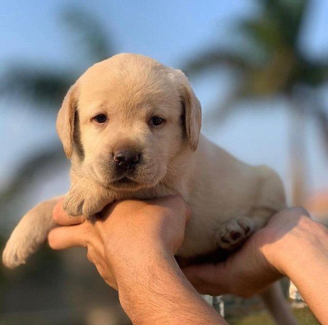 Labrador filhotes maravilhos, adquira de uma rede com 11 clínicas 24hrs e 6 lojas! - Foto 3
