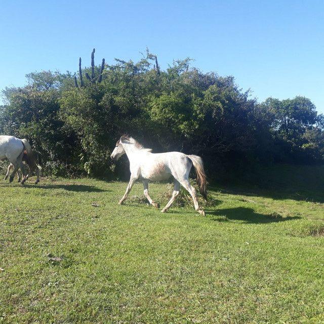 Vende-se uma égua domada e três potras  - Foto 2