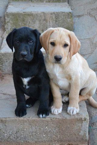 Labrador - Foto 4