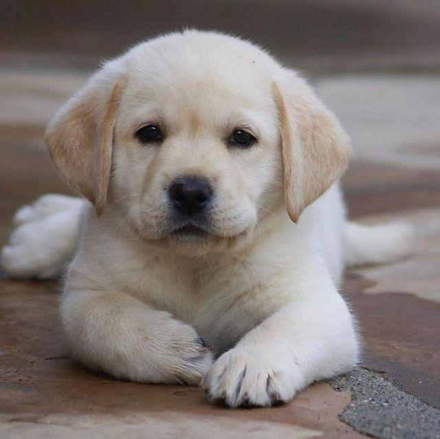 Labrador filhotinhos com pedigree e garantias de saúde! - Foto 3