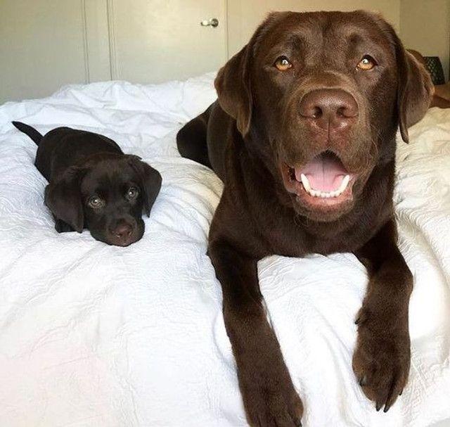 Labrador - Foto 2