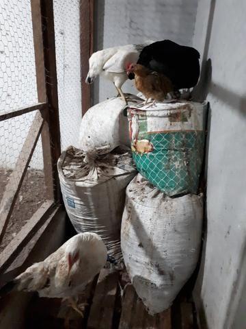 Esterco de GALINHAS ( cama de galinha)