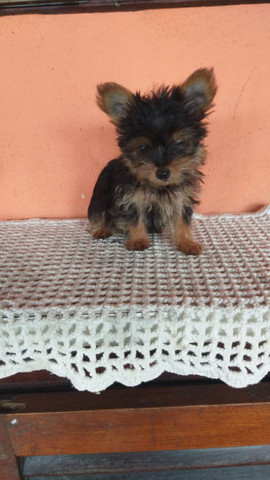 Yorkshire Terrier macho - Foto 3