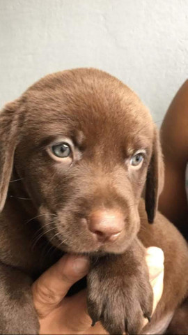 Labrador chocolate/amarelo/preto, machos e femeas - Foto 3