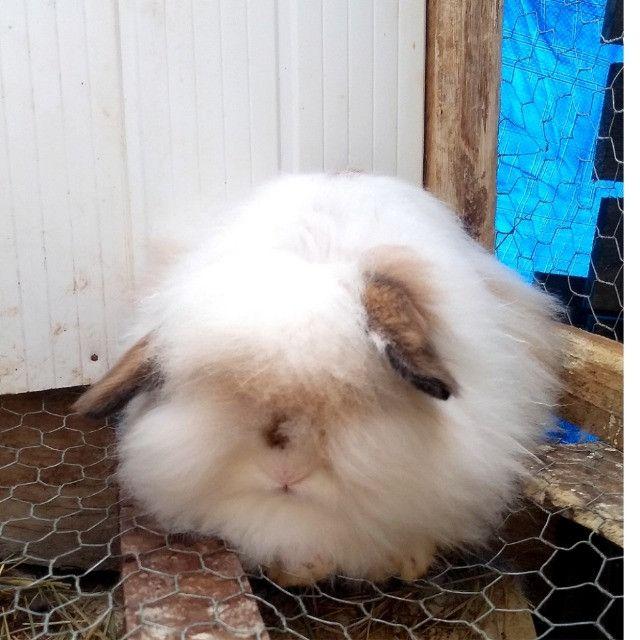 Vendo criação de mini coelhos
