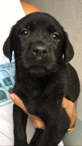 Labrador chocolate/amarelo/preto, machos e femeas - Foto 4