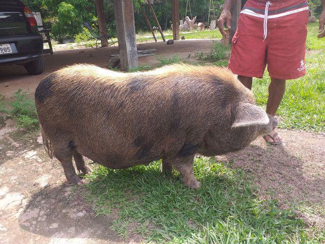 Porco - Foto 3