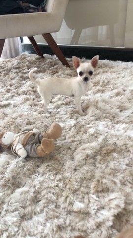 Chihuahua Femea  - Foto 2
