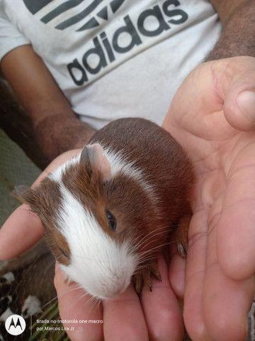 Caviário porquinhos da Índia de Aldeia, os melhores pets para os seus filhos - Foto 5