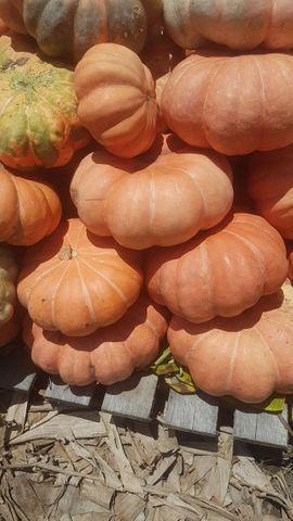 Abóboras Especiais: Morangas & Cabotiá