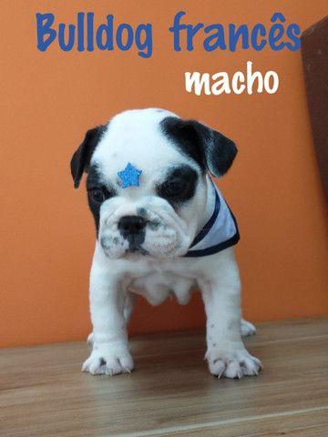 Lindo bulldog francês esperando por você