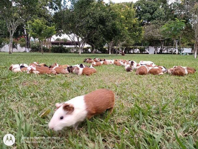 Caviário porquinhos da Índia de Aldeia, os melhores pets para os seus filhos