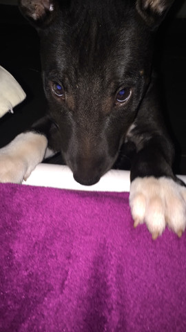 Filhote de bull terrier fêmea - Foto 5