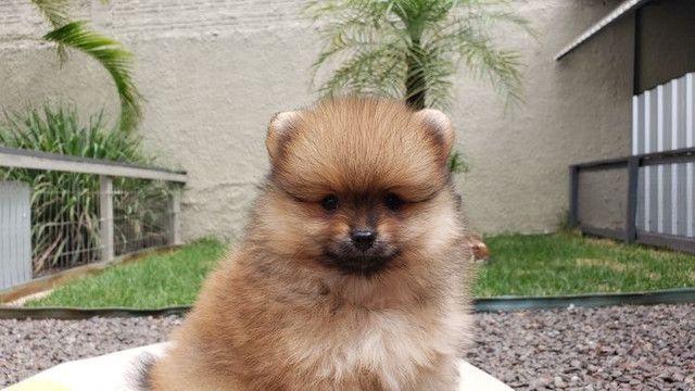 Filhote Lulu da Pomerania mk dr pet