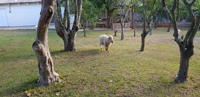 Vendo carneiro reprodutor