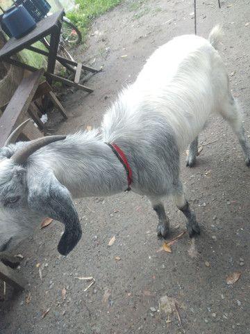 Vendo cabra - Foto 2