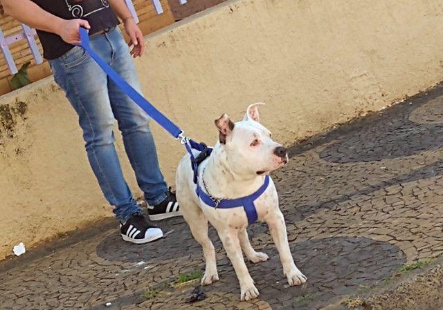 Hulk - American staffordshire terrier - Foto 2