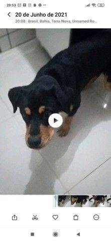 Rottweiler puro fêmea - Foto 4