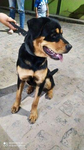 Rottweiler puro fêmea - Foto 2