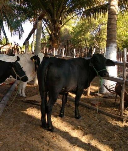 Vendo vaca holandesa