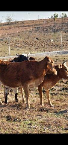 Vaca  - Foto 2