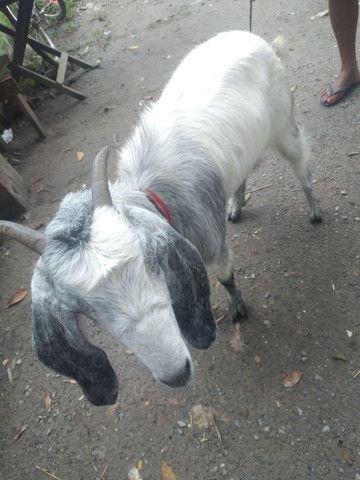 Vendo cabra - Foto 3