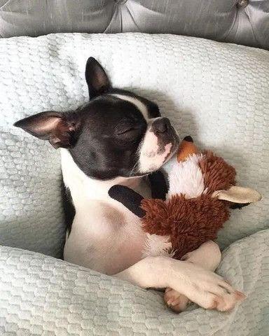 Boston Terrier - Macho e Fêmea - Foto 3