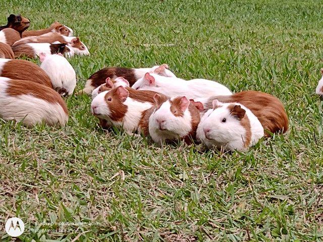 Caviário porquinhos da Índia de Aldeia, os melhores pets para os seus filhos - Foto 3