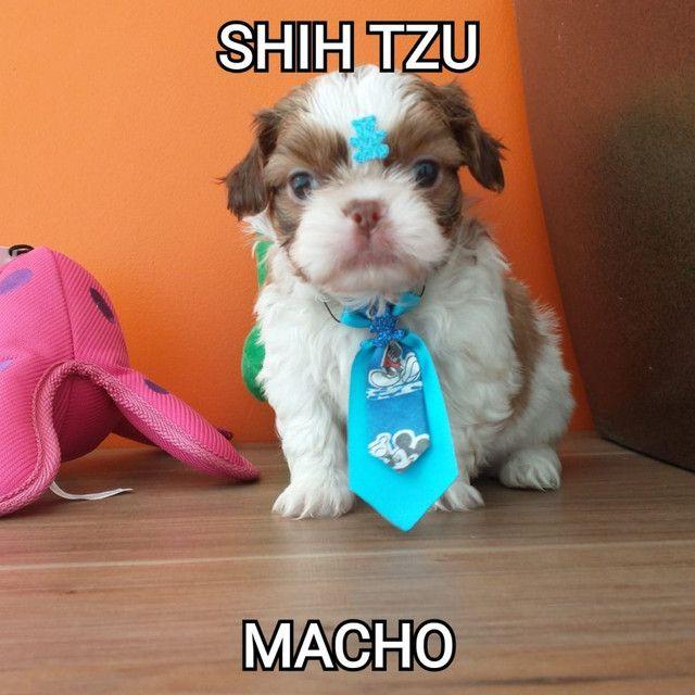 Shih tzu macho disponíveis