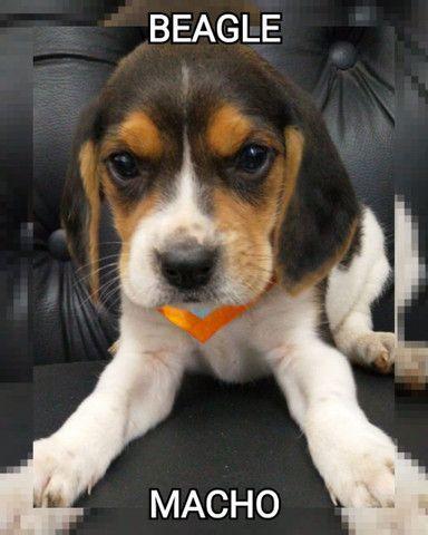 Beagle Macho maravilhosos